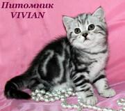 Британские котята черный мрамор на серебре из питомника VIVIAN.